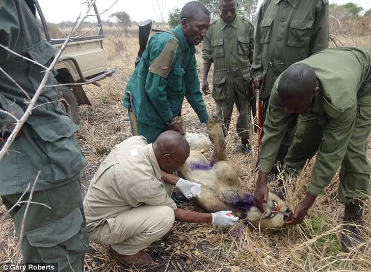 Львы три года кормили сородича, попавшего в капкан (4 фото)