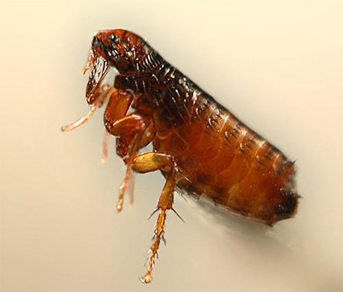3. Блохи Эти мелкие прыгающие насекомые, паразитирующие в основном на кошках, собаках или домашних г