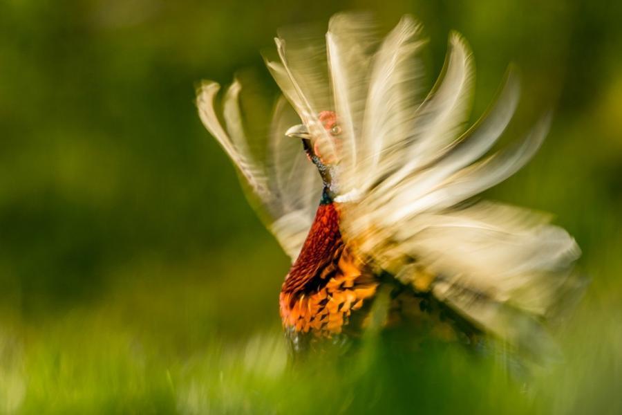 2. Категория «Поведение животных». «Фазан». Ноттингемшир, Англия. Фотограф: Kris Worsley.