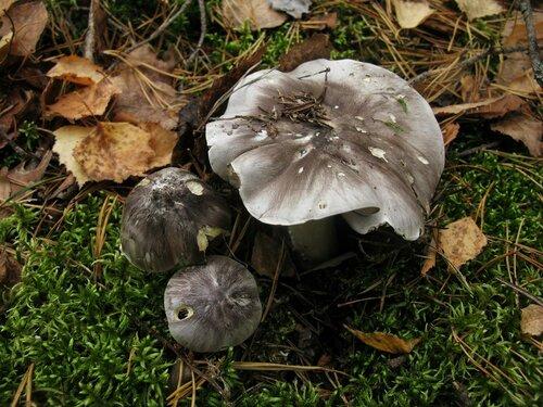 Рядовка серая (Tricholoma portentosum). Иногда этот вид охотно растет и без сосен. Вероятно, образует микоризу с берёзой Автор фото: Станислав Кривошеев