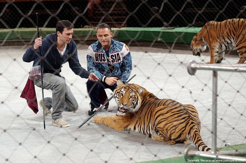 Весна. Назарова. тигры. 29.03.16.03..jpg