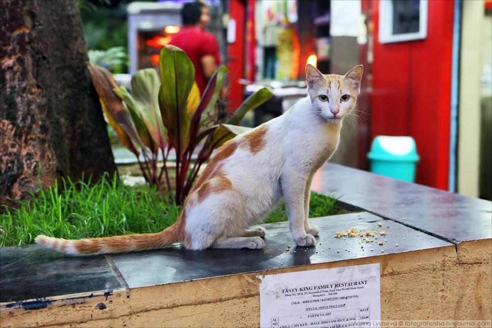 индийский кот