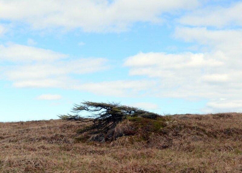 ветровая лиственница-3.jpg