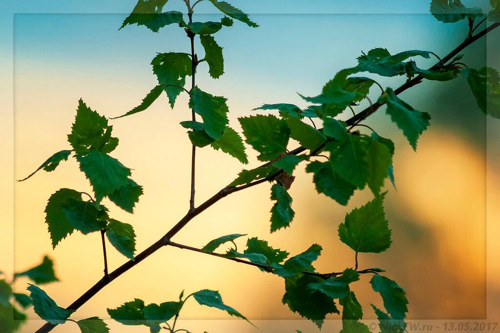 Берёзовые листья на закате (© NickFW - 13.05.2017)