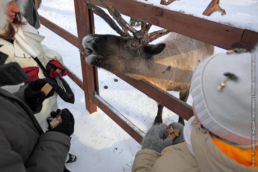 кормление северных оленей