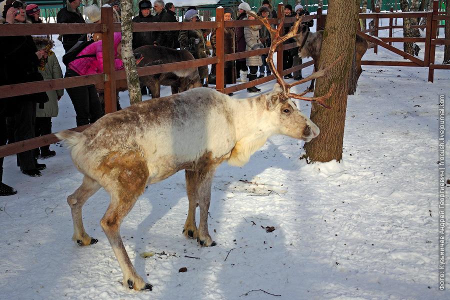 писающий северный олень