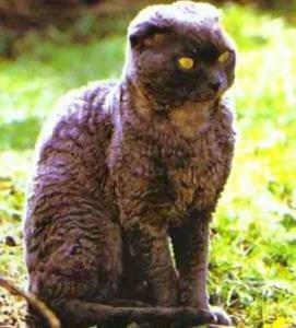 Порода кошек мэйкун фото - Домашние.