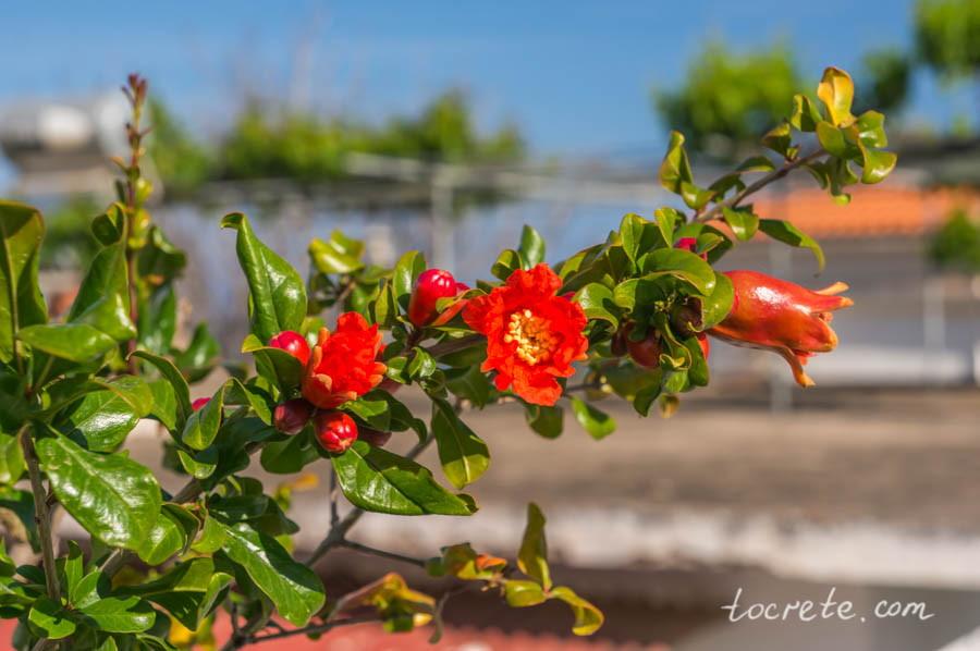 Гранатовое дерево цветет