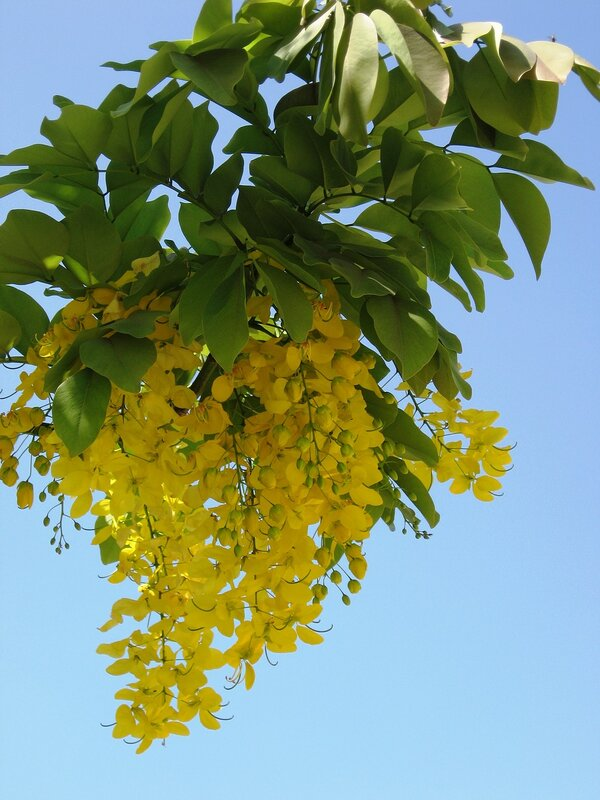 Дело в том, что кисти цветов этого кустарника достигают в... Этот декоративный кустарник под названием Бобовник...