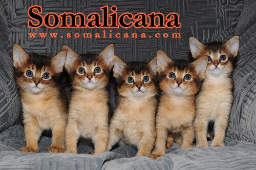 Д-помет сомалийских котят