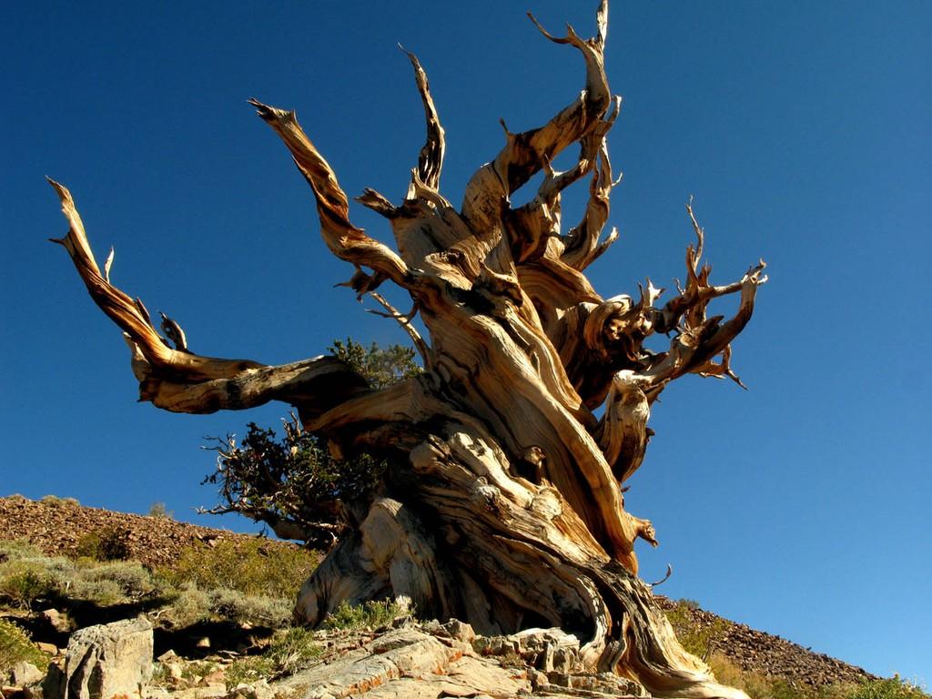5. Сосна остистая межгорная (5000 лет) Сосна остистая межгорная относительно небольшое хвойное дерев