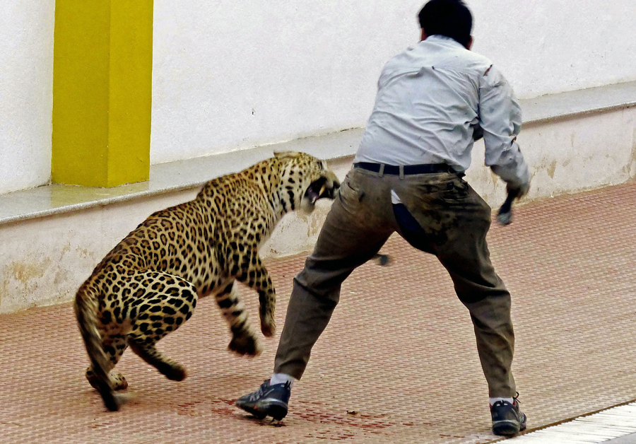 A photograph made available on February 8, 2016, shows a leopard attacking a forest official at a sc