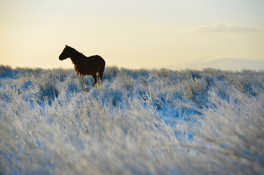 A wild horse stands still in the snow on Black Mountain on January 15, 2016, in Belfast, Northern Ir