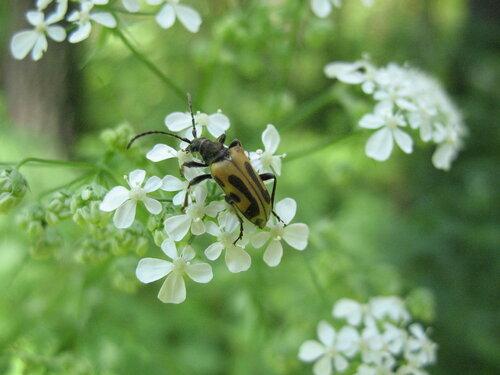 Жучок усатый на лесных цветах