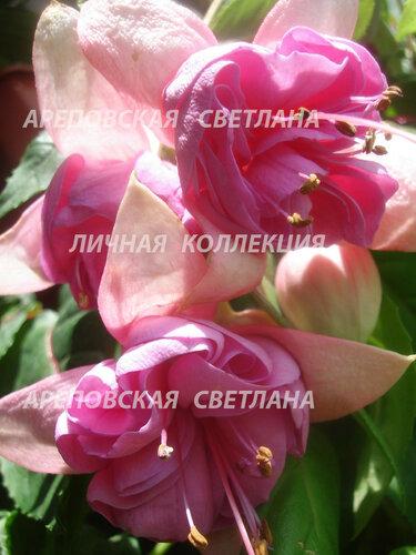 НОВИНКИ ФУКСИЙ. - Страница 5 0_1577b5_967f7ae3_L