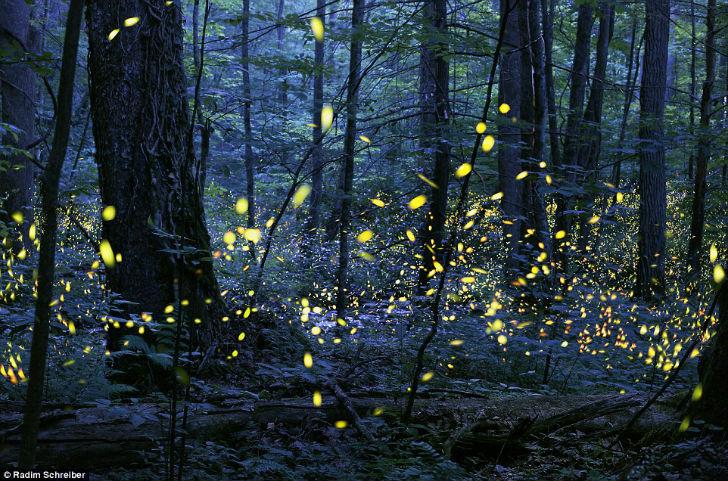 Фотограф Радим Шрейбер сделал этот снимок светлячков практически в полной темноте леса.