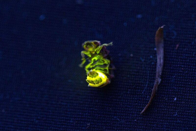 Внешний вид светлячка в темноте со светящимся зелёным огоньком последним сегментом брюшка (личинка светляка обыкновенного, Lampyris noctiluca, иванов червячок, ивановский червячок)