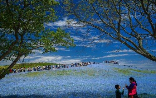 Поля с голубыми цветами в Японии