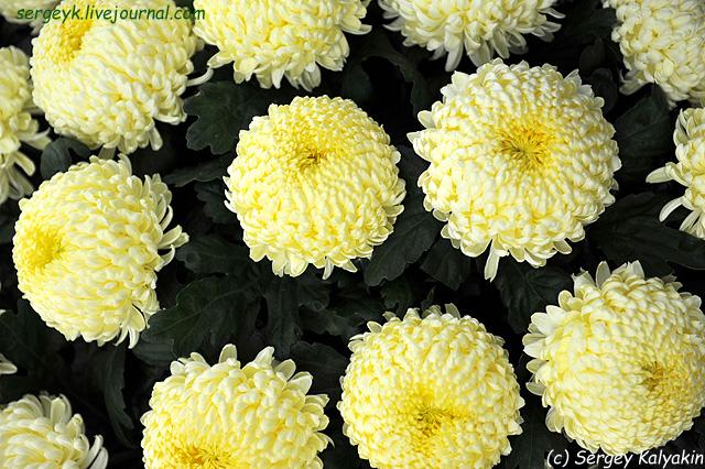 2 Chrysanthemum Misty Cream.JPG