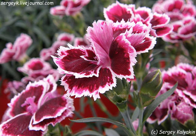 3 Dianthus Margarita (4).JPG
