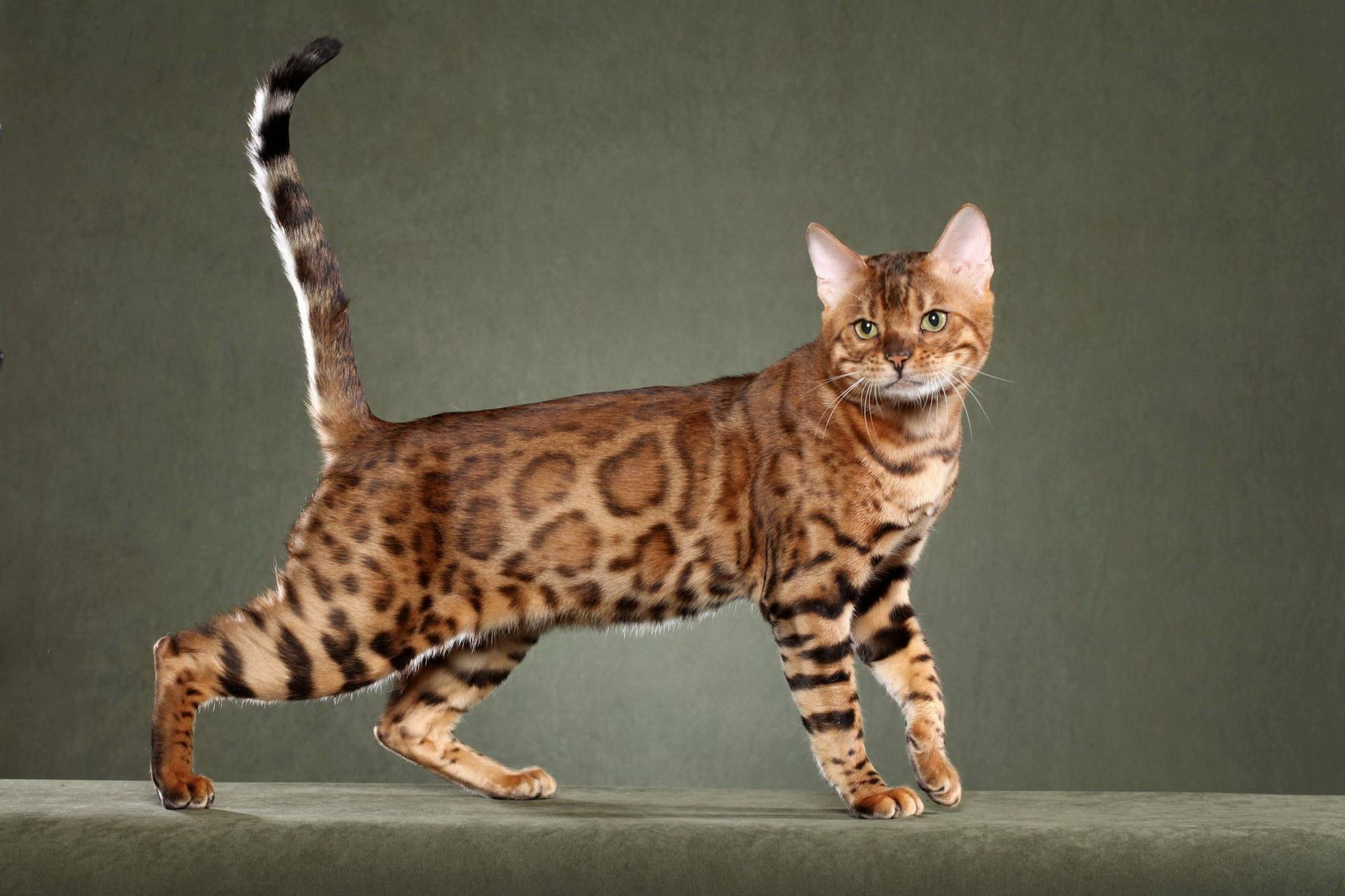Красива кішка