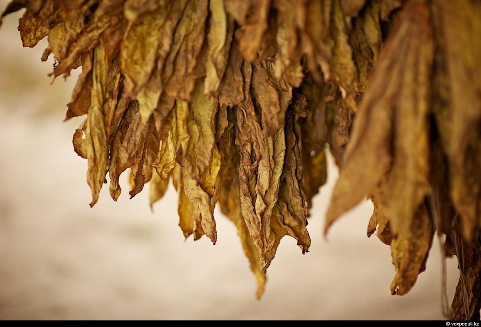 20. Перезрелые, так и недоспевшие листья дают табак с худшими курительными достоинствами. Самым высш