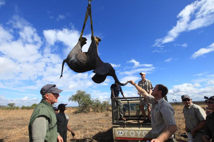 1. Это был масштабный проект по перевозке 500 слонов. Усыплённые транквилизатором, эти гиганты