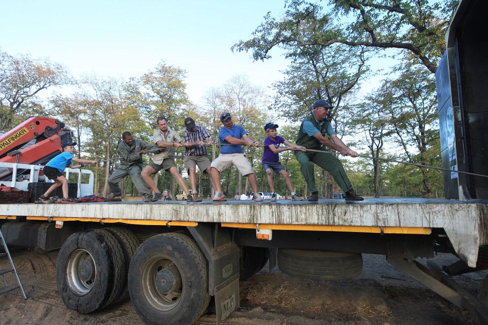 5. Спящий слоненок. Во время транспортировки всем слонам прикрывают глаза их большими ушами, эт