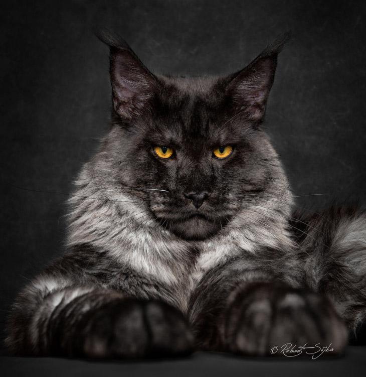 1. Мейн-кун — это аборигенная порода кошек Соединенных Штатов Америки, которая произошла от кош