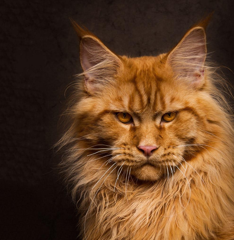 6. Эти великаны среди домашних кошек считаются миролюбивыми. Дружелюбными и покладистыми. Мейн-