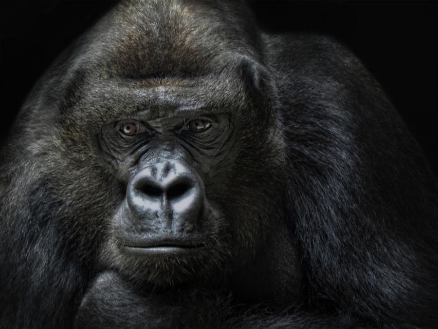 9. Если вы решите перевезти в Миннесоте, США, в своем автомобиле гориллу, то обязаны будете обязател