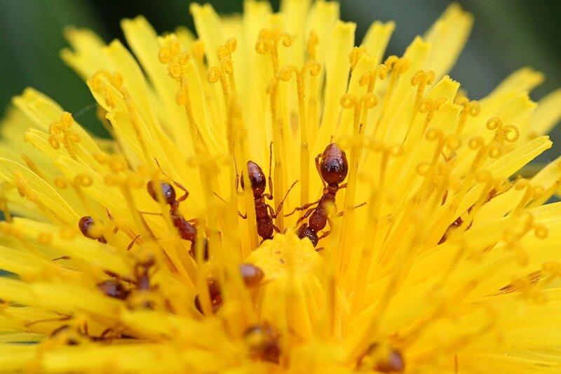 Стайка муравьёв приникла в нектарникам на цветке одуванчика