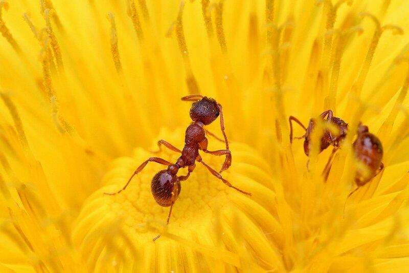 Рыжий муравей чистит антенны от пыльцы, сидя в центре цветка одуванчика