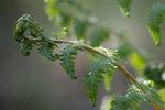 Кочедыжник женский - Athyrium filix-femina (Woodsiaceae)