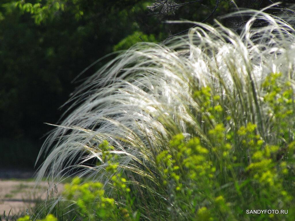 Как цветёт полевая акация?