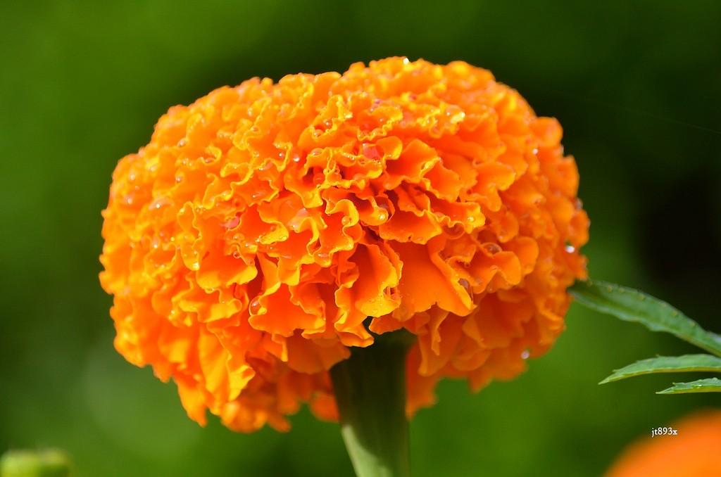 Оранжевая африканская календула