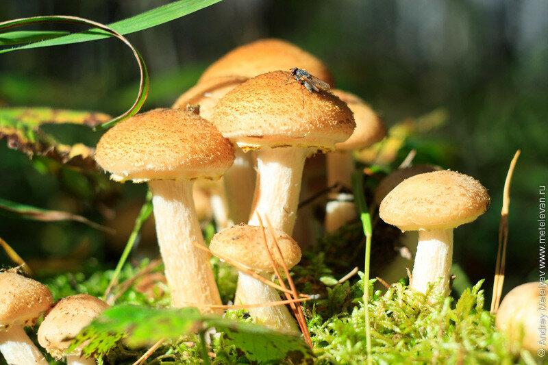 муха сидит на грибе опенок под солнцем в лесу