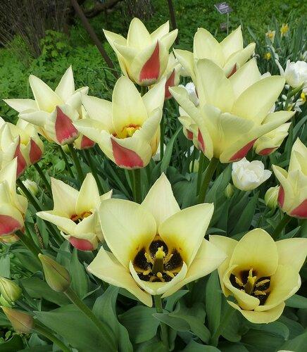 Тюльпаны DIABLO