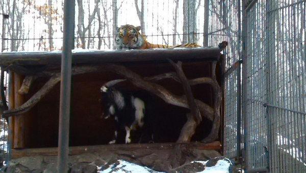 козел тимур выжил тигра