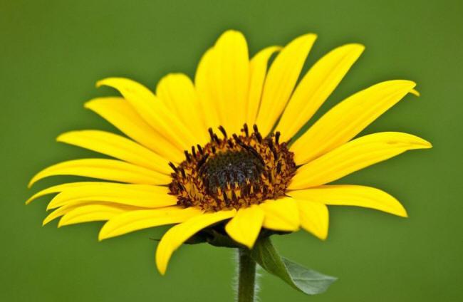 ромашка Жовта