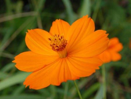 помаранчева космея