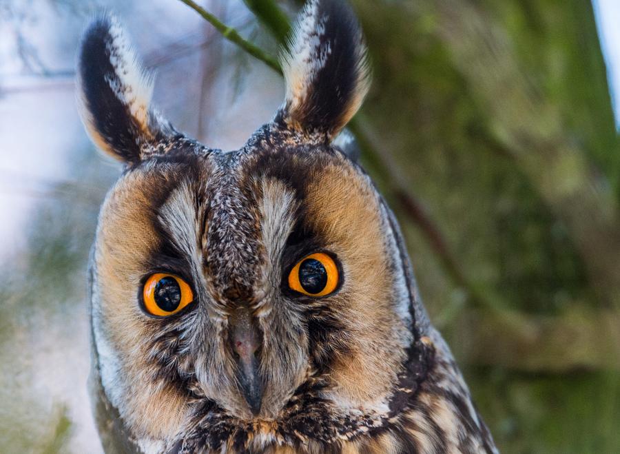 A long-eared owl (Asio otus) in a tree near Lebus, Germany, on January 22, 2016. Many long-eared owl