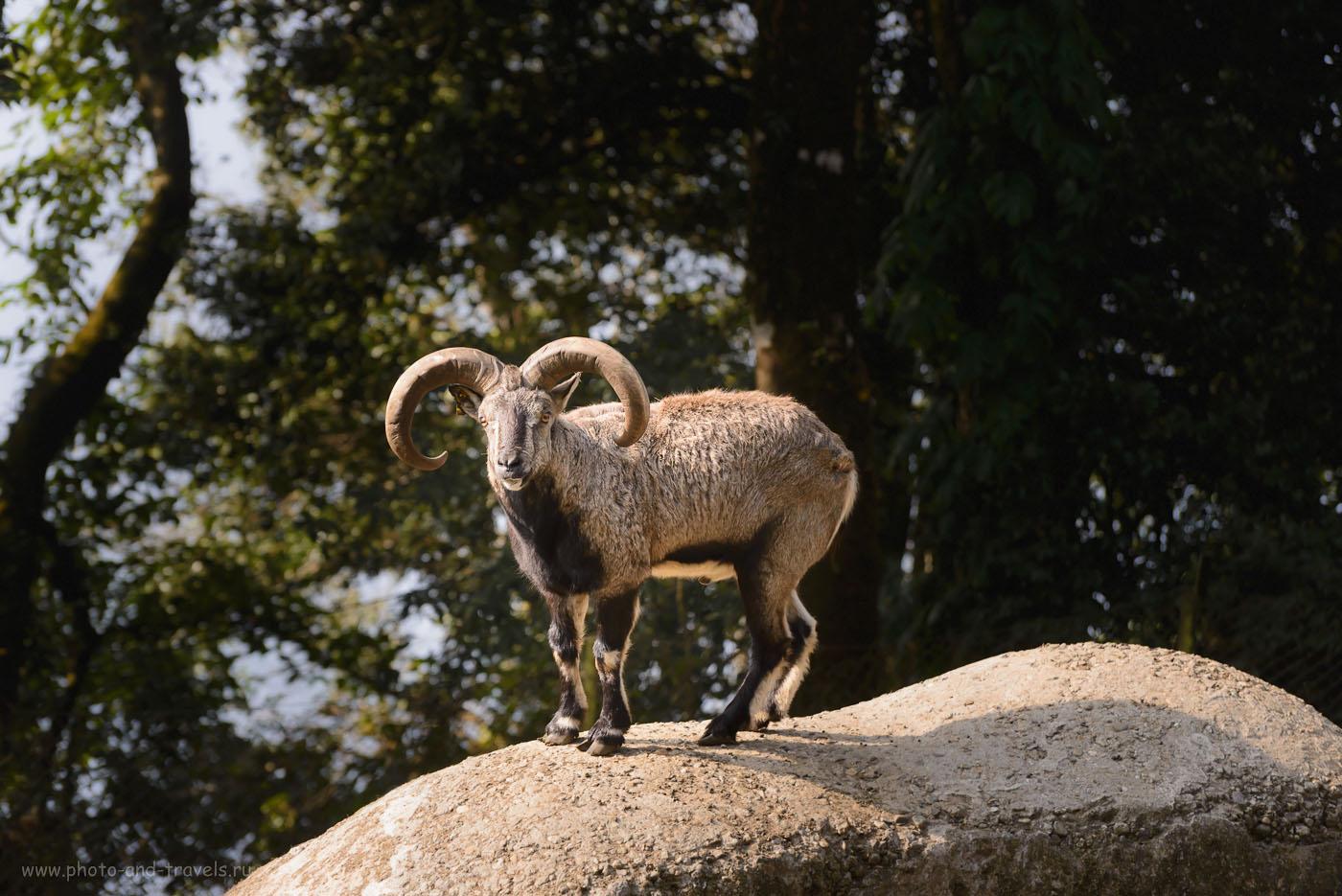 Фотография 9. Горный баран в зоопарке Padmaja Naidu Himalayan Zoological Park в Дарджилинге. Чтобы его сфотографировать, пришлось использовать на зеркалке Никон Д610 телеобъектив Nikon 70-300. Параметры съемки: 1/500, f/5.0, 400, 135.
