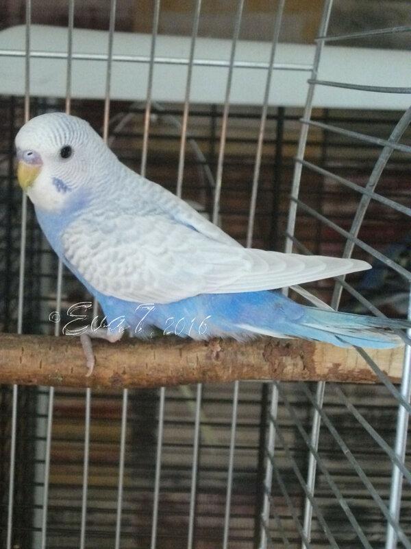 Продам птенцов волнистого попугая. Киев 0_c34e1_4065f270_XL