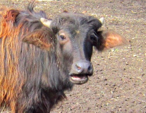 Индийский водяной буйвол (Арни).