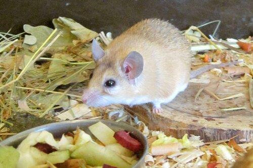 Иглистая мышь.