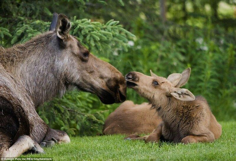 Лосиха со своим телёнком в Анкоридже, штат Аляска, США.