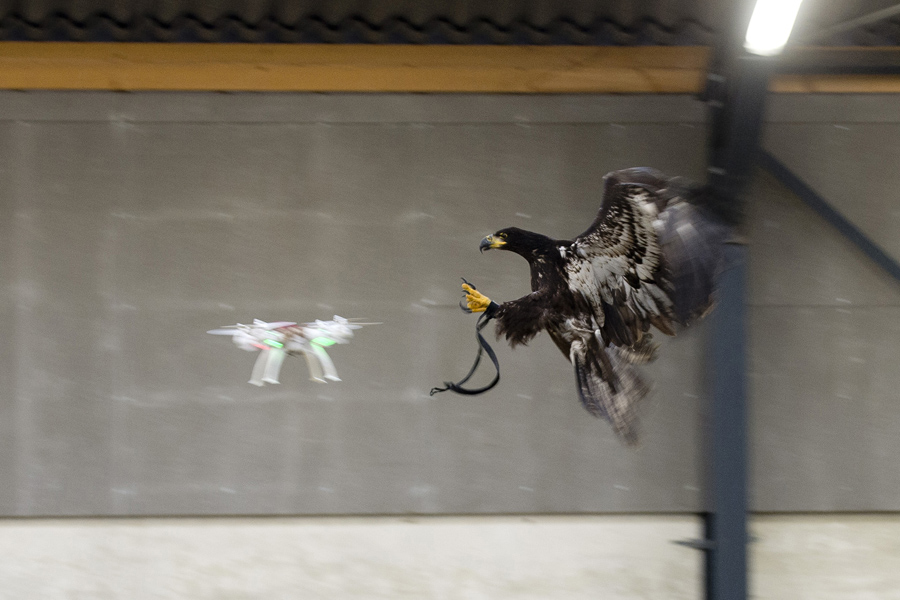 An eagle is seen gliding straight toward a drone before clutching it and dragging it to the ground i
