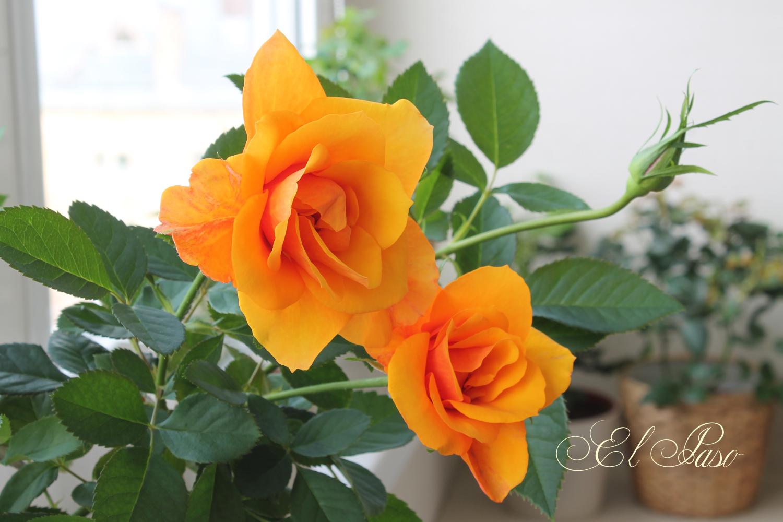 белые комнатные розы уход за ними