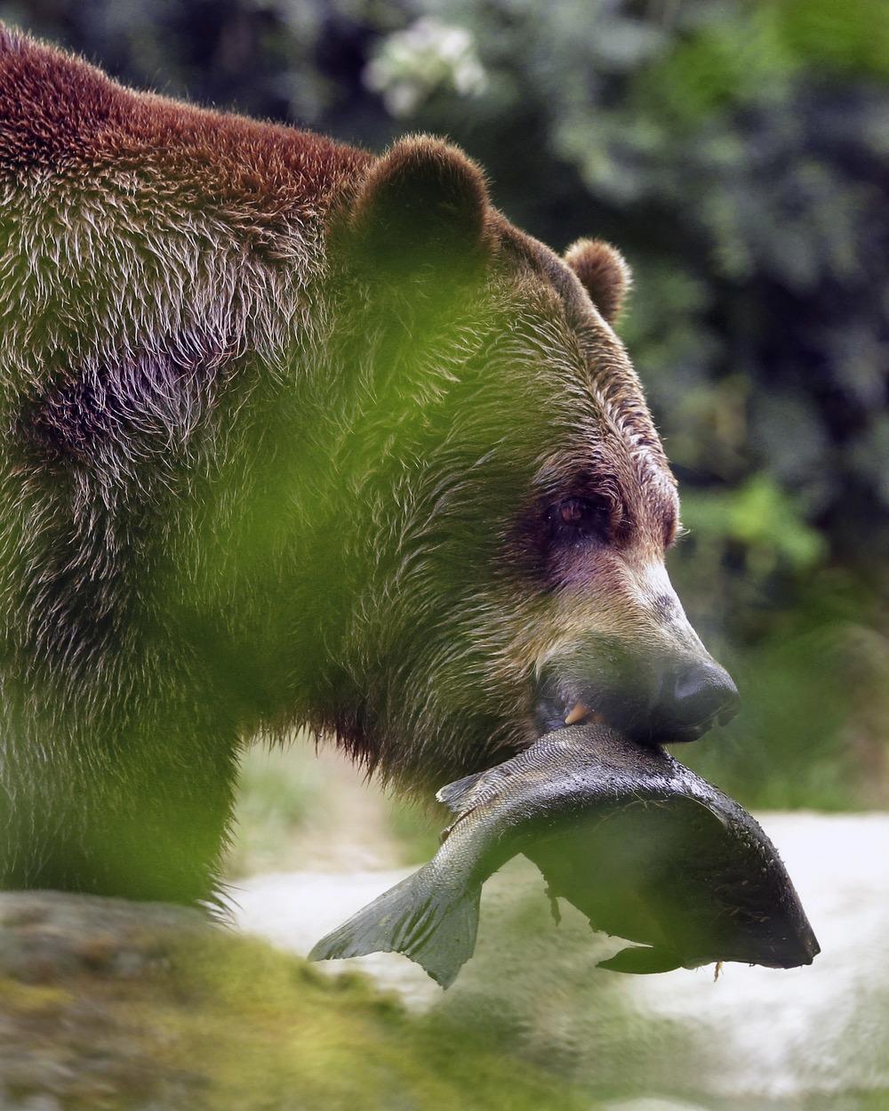 Bear Fish Toss